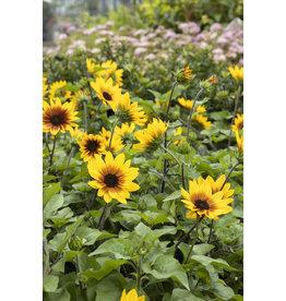 "Sunflower, SunBelievable  Brown Eyed Girl - 7.5"""