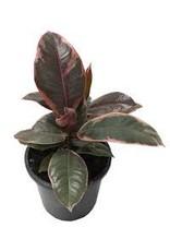 "Rubber Tree - Ficus Elastica - 'Ruby' 6"""