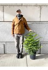 "Norfolk Island Pine - Araucaria heterophylla 10"""