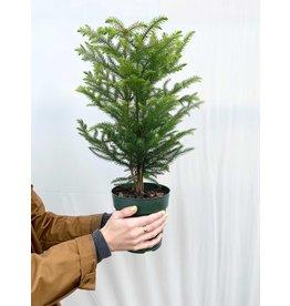 "Norfolk Island Pine - Araucaria heterophylla 6"""