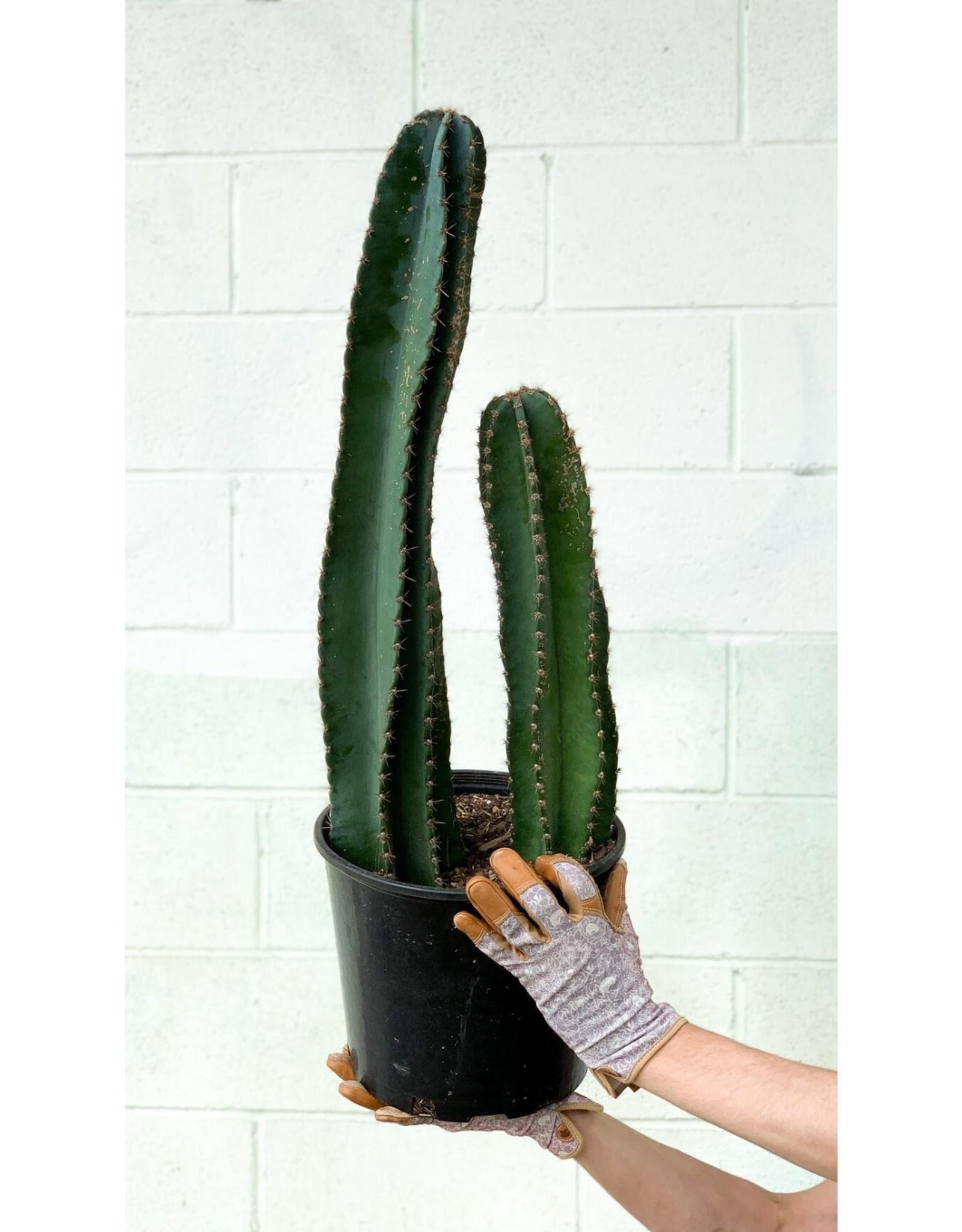 """Cereus Cactus - Cereus peruvianus 14"""""""