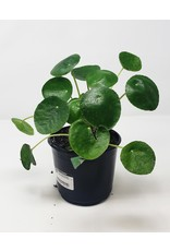 """Pilea Peperomioides - Chinese Money Plant - 6"""""""