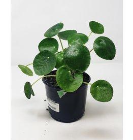 "Pilea - Chinese Money Plant - 6"""