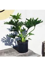 "Philodendron - Thaumatophyllum Bipinnatifidum 'Selloum' 10"""