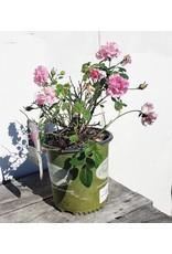 Rose - Rosa 'Brindabella' 2 Gallon