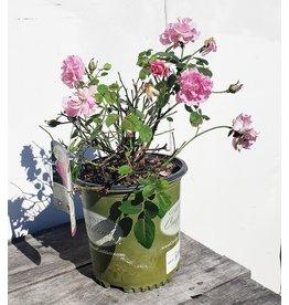 Rose - 'Brindabella' 2 Gallon