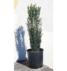 Sky Pencil Holly - 3 Gallon