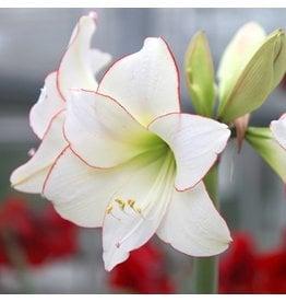 Bulb - Amaryllis Picotee