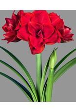 Bulb - Amaryllis Cherry Nymph