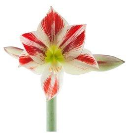 Bulb - Amaryllis Ambiance