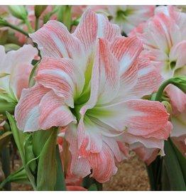 Bulb - Amaryllis Giant Amadeus