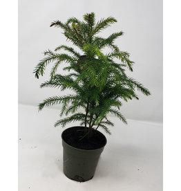 "Norfolk Island Pine - Araucaria heterophylla 4"""