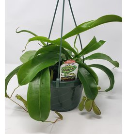"Pitcher Plant- Nepenthes 6"" HB"
