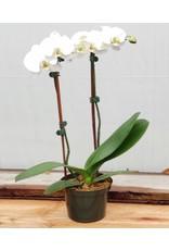 """Orchid - Phalaenopsis - 6"""""""