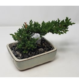 Bonsai Juniper - Juniper chinensis 'Blue Point' 6""