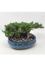 "Bonsai, Juniper- Juniper Chinensis 'Blue Point' 8"""