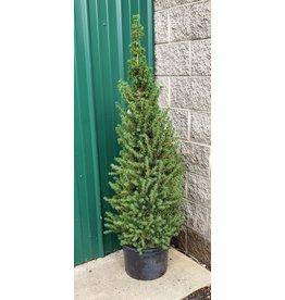 Spruce, Dwarf Alberta- Picea Glauca 'Conica' #1