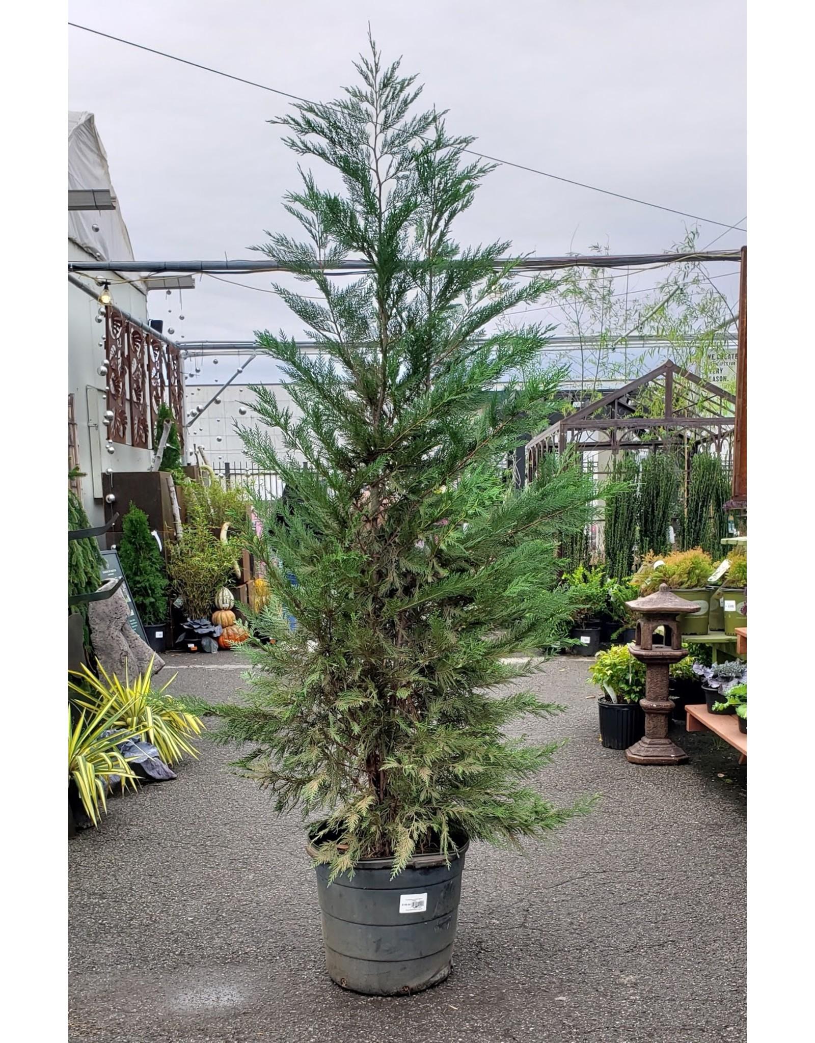 Leyland Cypress - Cupressocyparis leylandii #15