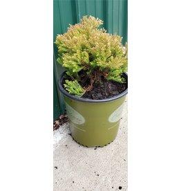 Arborvitae, Emerald Green- Thuja occidentalis 'Fire Chief' #2