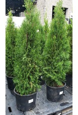 Arborvitae, Emerald Green- Thuja occidentalis 'Smargard' #7