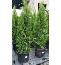 Arborvitae, Emerald Green- Thuja occidentalis 'Smargard' #7