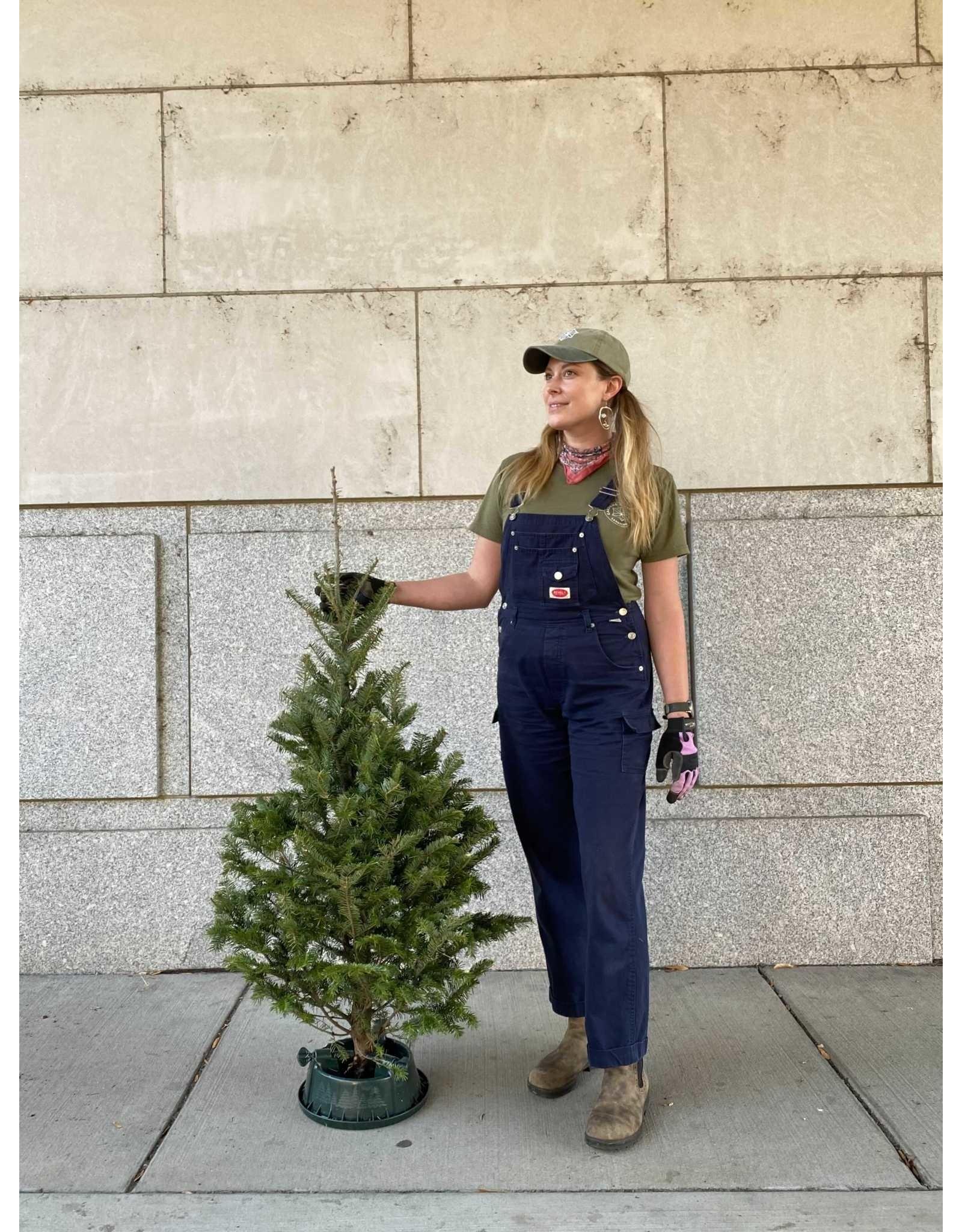 Christmas Tree- Fraser Fir - 3-5ft