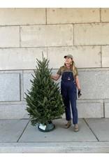 Christmas Tree- Fraser Fir - 5-6ft