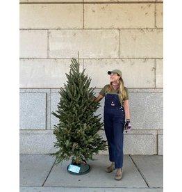 Christmas Tree- Fraser Fir - 6-7ft