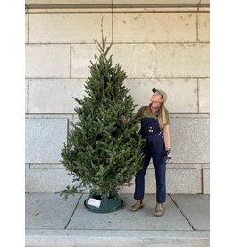 Christmas Tree- Fraser Fir - 8-9ft