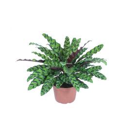 "Rattlesnake Plant - Calathea lancifolia 4"""
