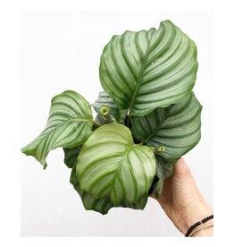 """Calathea - Calathea orbifolia 4"""""""