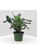 "Bromeliad - Vriesea gigantea 4"""