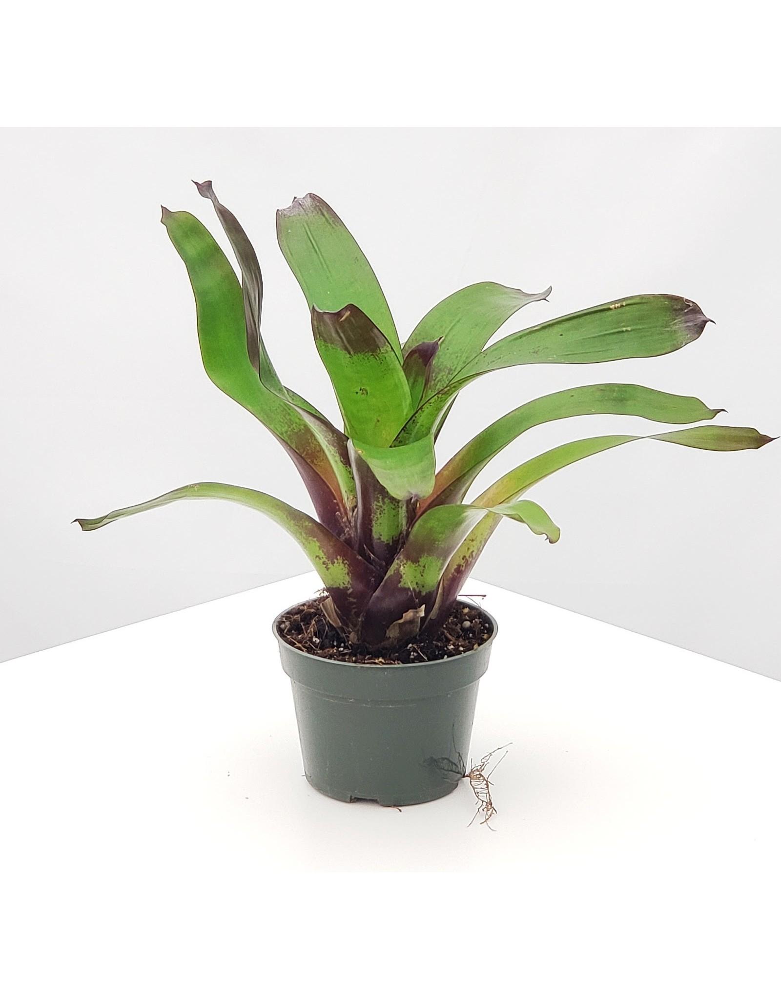 """Bromeliad- Vriesea 'Purple Cockatoo' 4"""""""