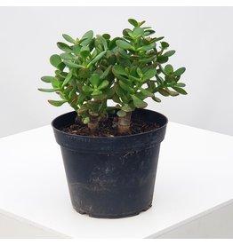 """Jade Plant - Crassula ovata 6"""""""