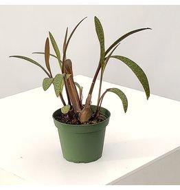 "Leopard Lily - Scilla violacea 4"""