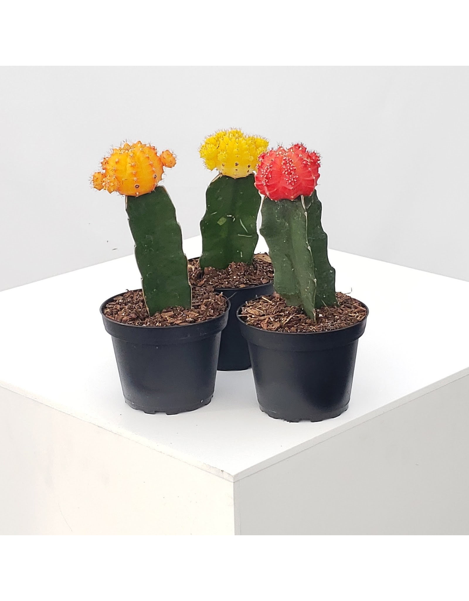 """Grafted Cactus- Assorted 4"""""""