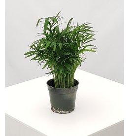"""Parlor Palm - Chamaedorea elegans 4"""""""