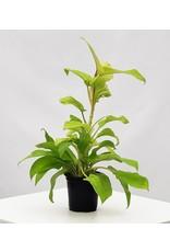 "Philodendron Lemon  Lime- Philodendron hederaceum 'Lemon Lime' 4"""