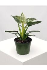 "Philodendron - Birkin - 6"""