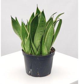 """Snake Plant - 'White Owl' 6"""""""
