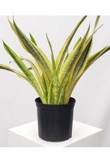 """Snake Plant - Sansevieria trifasciata 'Yellowstone' 10"""""""
