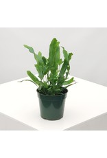 Blue Star Fern- Phlebodium aureum 4""