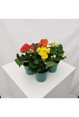 """Rieger Begonia- Begonia x hiemalis 4"""""""