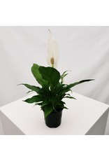 """Peace Lily - Spathiphyllum 4"""""""