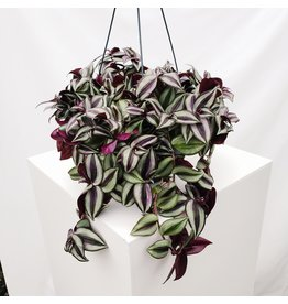 Wandering Jew - Hanging Basket 11""