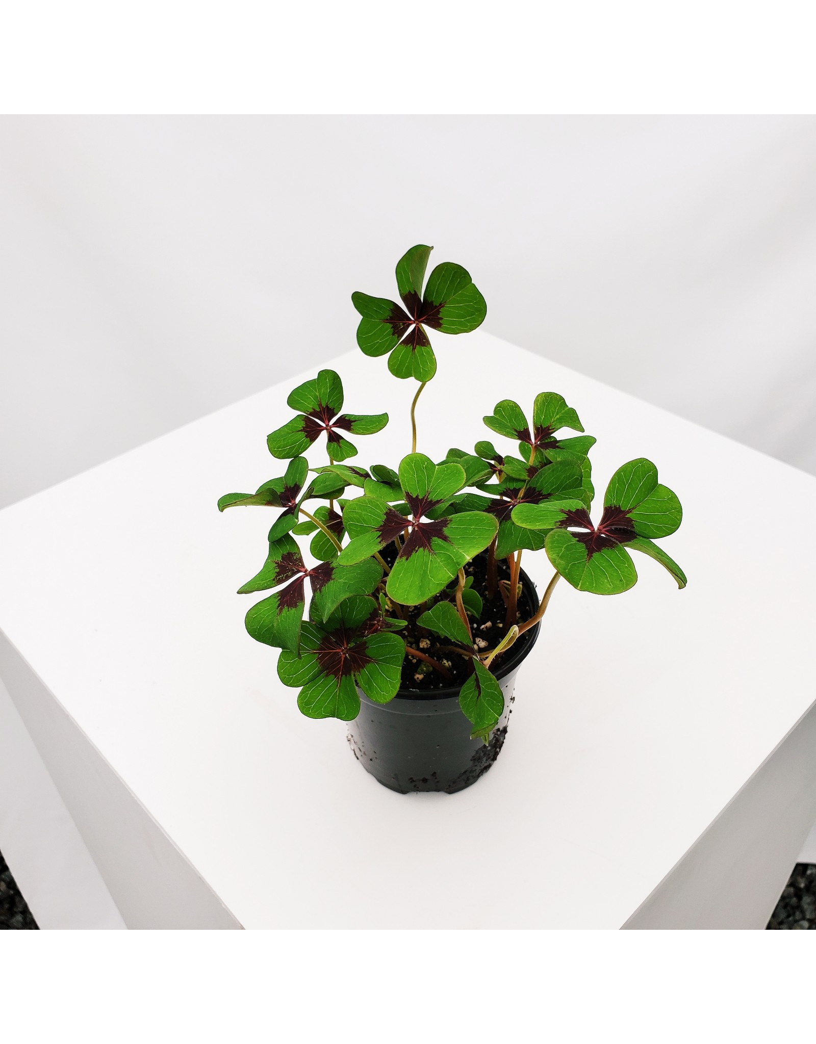 Shamrock- Oxalis triangularis 4""