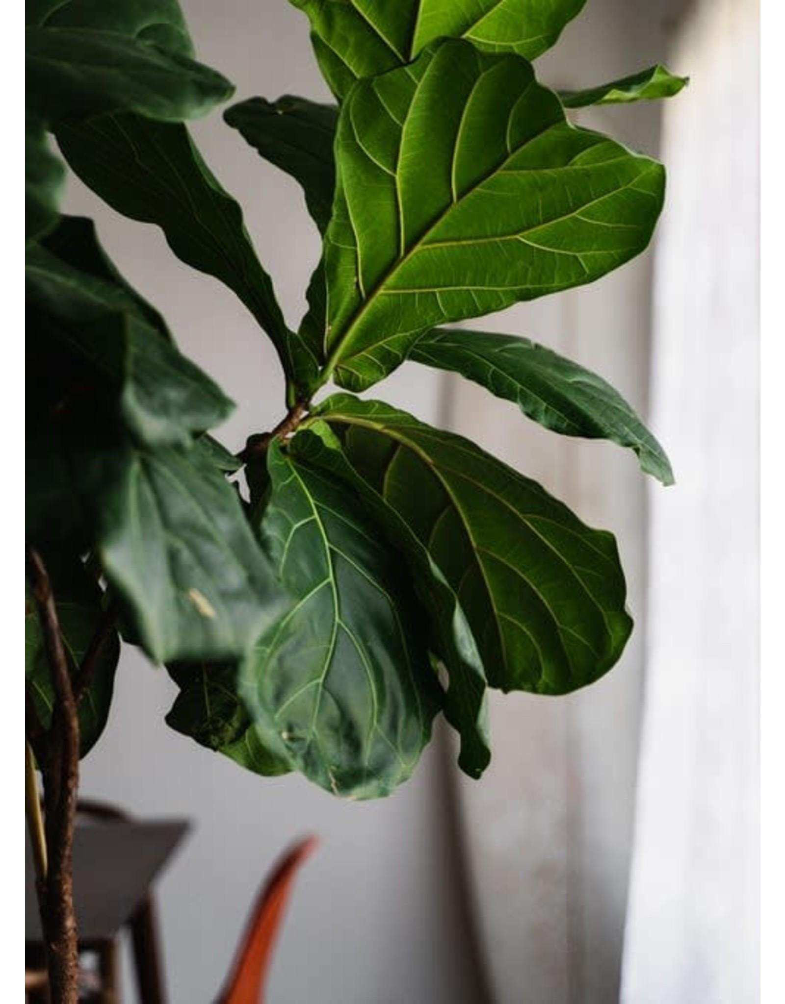 "Fiddle Leaf Fig - Ficus lyrata 14"" STD"