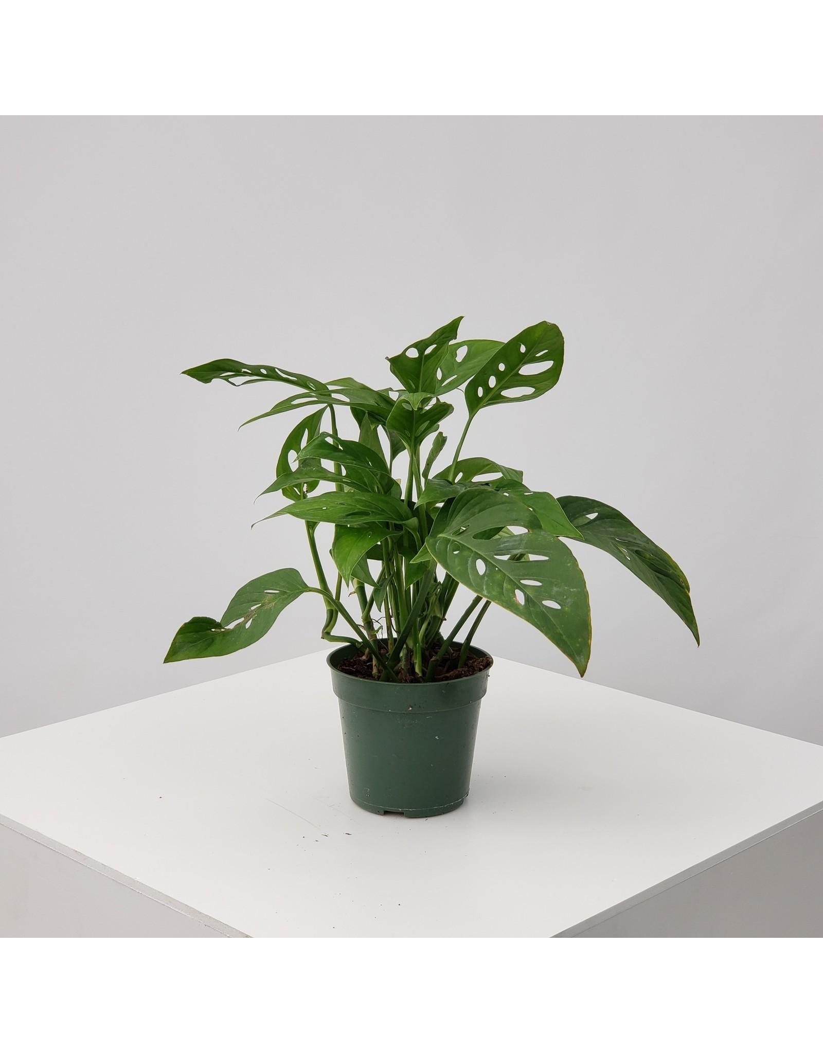 "Swiss Cheese Plant- Monstera Adansonii - 4"""