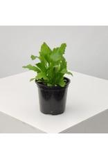 "Birdsnest Fern- Asplenium nidus 'Champion' 4"""