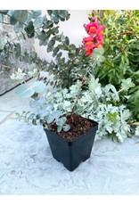 "Eucalyptus pulverulenta 'Baby Blue' 4"""